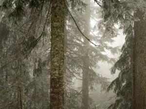 Niebla entre los pinos