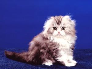 Un pequeño gato sobre una alfombra azul