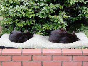 Dos gatos negros durmiendo