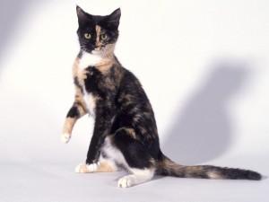 Bonito gato tricolor