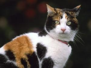 Gato con manchas de dos colores