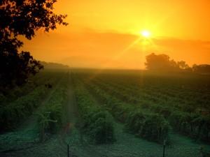 Hermoso amanecer sobre el viñedo