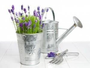 Regadera y flores de lavanda en un recipiente