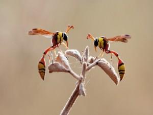 Avispas sobre las hojas de una ramita