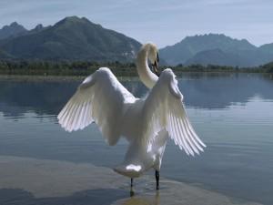 Cisne en el agua con sus alas extendidas