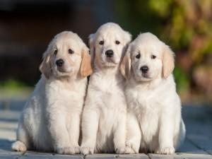 Tres hermosos perros blancos