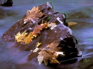 Hojas otoñales sobre una piedra del río