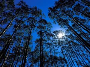 El sol tras grandes árboles