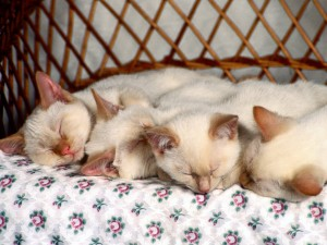 Cuatro gatitos durmiendo