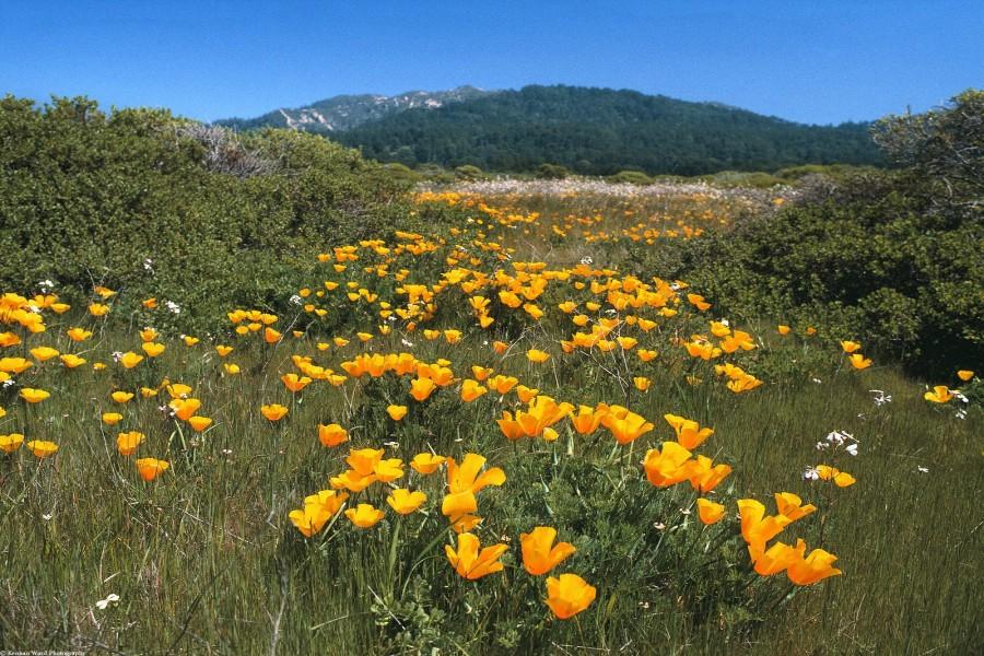 Amapolas de California en el campo