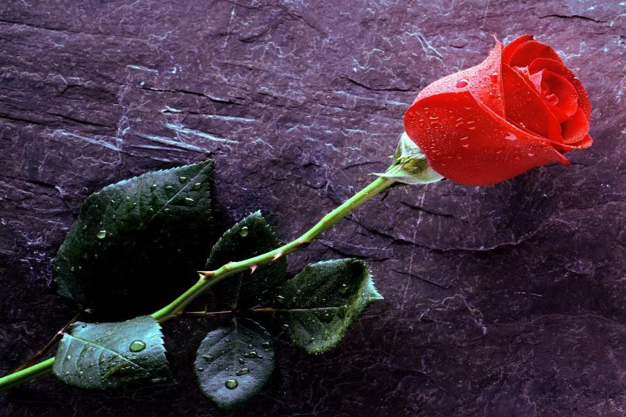 Una rosa roja con gotas de agua