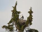 Cigüeñas preparando el nido en la copa de un árbol
