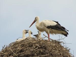 Cigüeña en el nido con sus polluelos