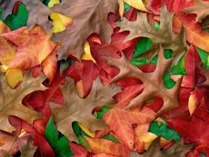 Hojas otoñales de varios colores