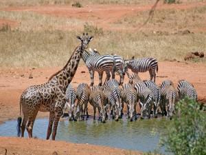 Cebras tomando agua y una jirafa mirando hacia adelante