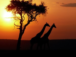 Jirafas caminando en la puesta del sol