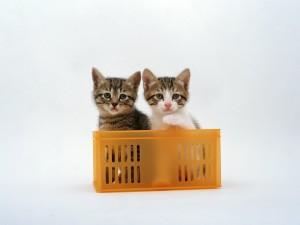 Un par de gatitos en una caja de plástico