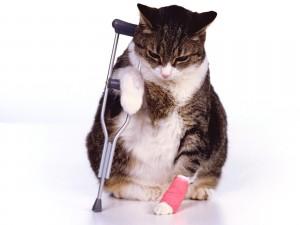 Gato con una pata vendada