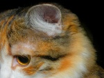 La oreja de un gato