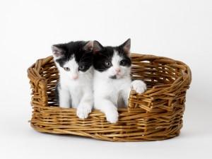 Dos gatitos blancos y negros en una cesta