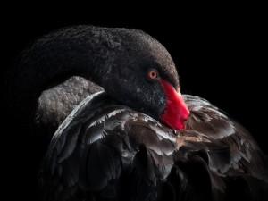 Cisne negro con el pico escondido bajo las plumas