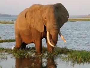 Elefante en el Parque Nacional de Mana Pools (Zimbabue, África)
