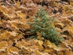 Joven pino rodeado de helechos otoñales