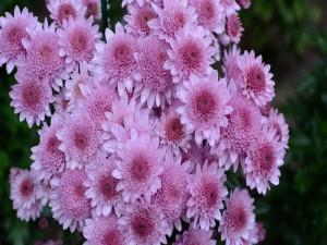 Delicadas flores aster color rosa