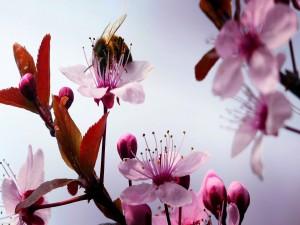 Abeja posada sobre una flor de cerezo