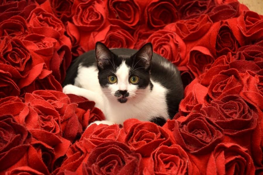 Gato negro y blanco acostado en rosas de tela