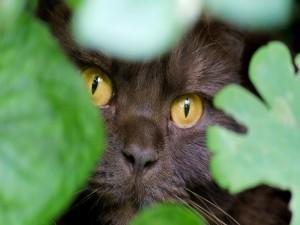 Hocico de un gato entre las hojas verdes