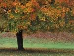 Arce con hojas otoñales