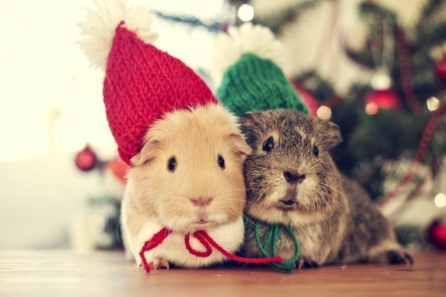 Conejillos de Indias celebrando la Navidad