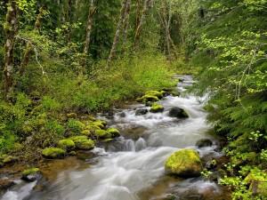 Riachuelo corriendo por un verde bosque