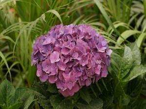 Hortensia de color rosa en un jardín