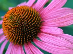 Flor con pétalos fucsias