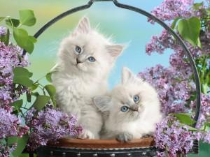 Lindos gatitos blancos