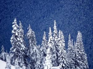 Nieve sobre los pinos