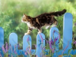 Gato caminando sobre una valla azul