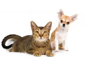 Gato junto a un chihuahua