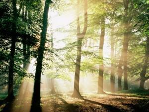 Rayos de sol entre los árboles del bosque