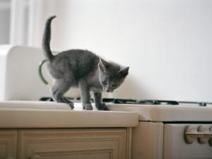 Gatito gris en una cocina