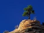 Pino creciendo en la roca