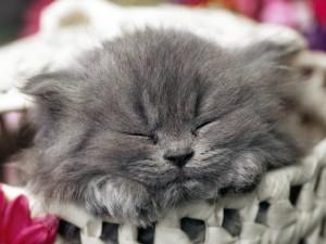 Un gatito gris dormido