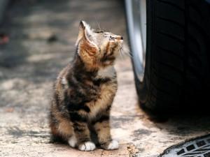 Gato junto a la rueda de un coche