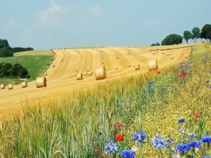 Rollos de paja en el campo