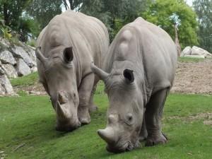 Rinocerontes comiendo hierba