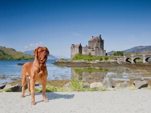 Dogo de Burdeos junto a un castillo