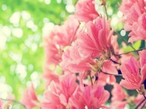Flores rosas en las ramas