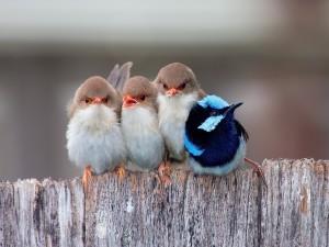 Aves paseriformes sobre una valla de madera